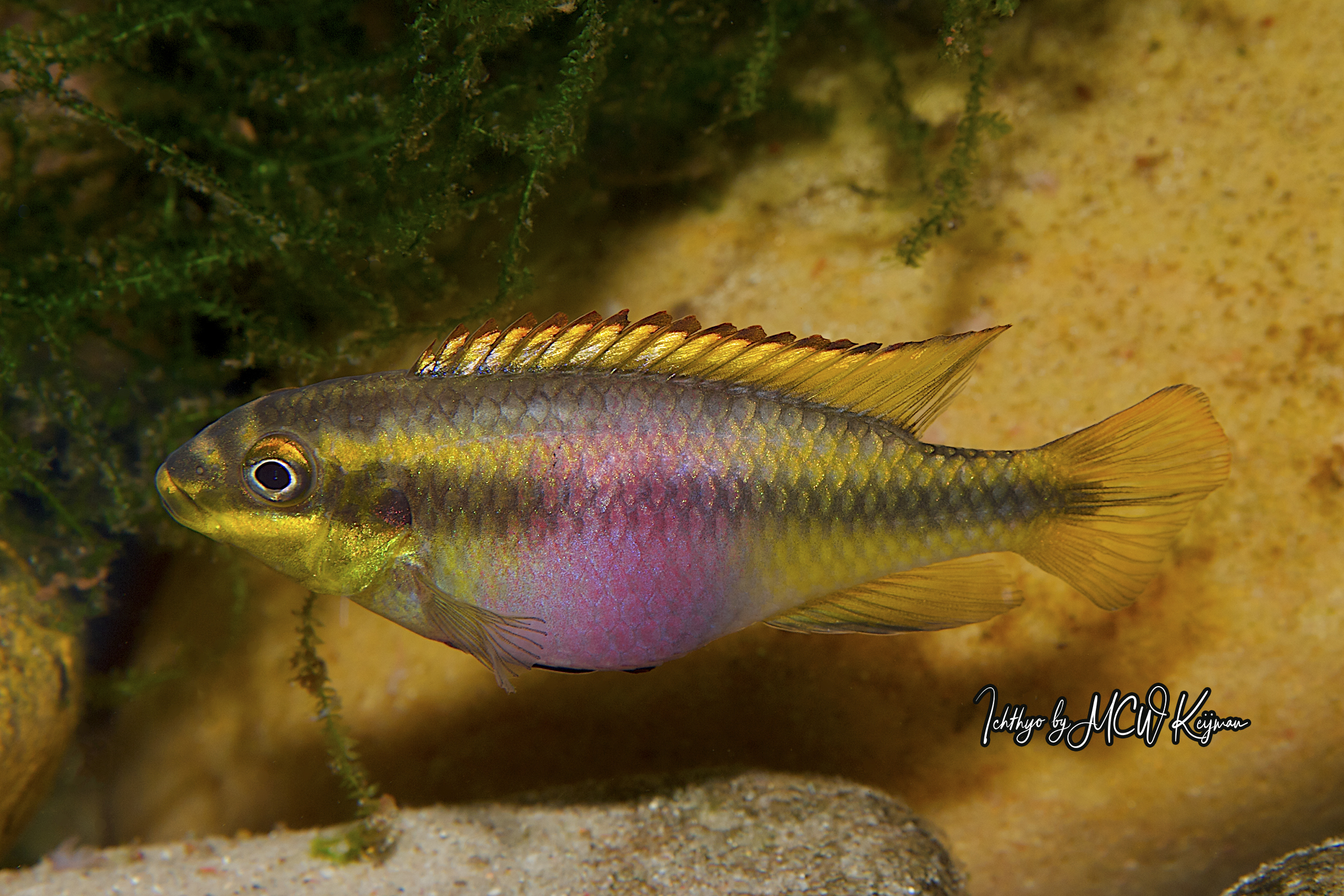 Read more about the article Pelvicachromis pulcher